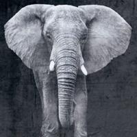 MANTA ELEPHANT PEKE